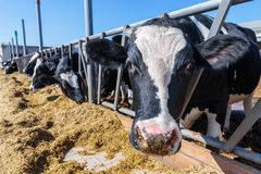 Free Muzzle Animal Close-up, Breed Of Hornless Dairy Cows Eating Silo Royalty Free Stock Photography - 130026357