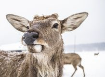 Muzzle animal deer of the winter forest stock photo