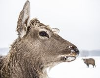 Muzzle animal deer of the winter forest royalty free stock photos
