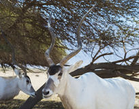 Muzzle of antelope, the Arabian oryx Stock Images