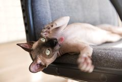 Cat breed canadian Sphinx lying on a chair with raised legs,  cat stuck out his tongue, the muzzle of a bald cat. Muzzle of a bald cat, cat breed canadian Sphynx stock photography