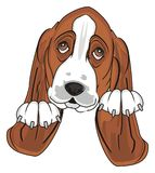 Head of dog with paws. Muzzle of basset hound with two paws Stock Images
