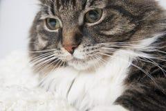 Muzzle beautiful fluffy cat on a light background. Stock Photography