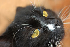 Muzzle of black angry cat Stock Photos