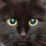 The muzzle of a black cat. Background from the muzzle of a black cat closeup Stock Photo