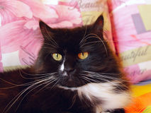Muzzle of black cat Royalty Free Stock Image