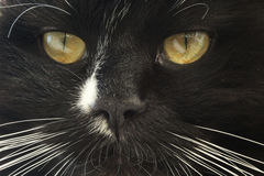 Muzzle of black cat. Close-up of stared sight of black cat Royalty Free Stock Photography
