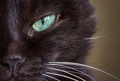 Muzzle of a black cat Stock Photography