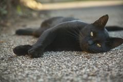 The muzzle of a black cat Royalty Free Stock Images