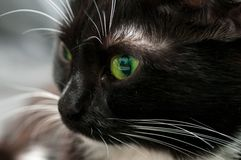 Muzzle black cat in profile. Close-up royalty free stock photography