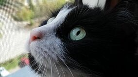 Muzzle of a black and white cat. A domestic cat sits by the mosquito net and looks up at the bird. The pupils dilate. With excitement. Hunter stock video
