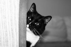 Muzzle of black and white cat is peeking out of the corner. Muzzle of black and white cat is peeking out of the corner and looking at camera Royalty Free Stock Photography