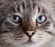 Muzzle of a blue-eyed striped cat. Stock Image