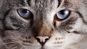 Muzzle of a blue-eyed striped cat. Stock Photography