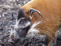 Muzzle boar closeup.Large male bush pigs looking for edible roots going into the ground. Stock Images
