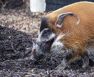 Muzzle boar closeup.Large male bush pigs looking for edible roots going into the ground. Stock Photography