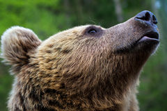 The muzzle of a brown bear Stock Image