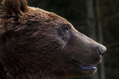The muzzle of a brown bear Stock Photo