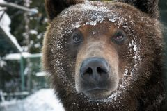 Muzzle of a brown bear in snow. Curious animal look. focus on eyes stock image