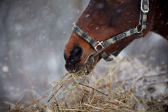 Muzzle of a brown horse in a halter with hay. Stock Images
