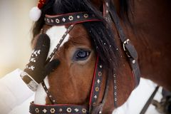 Muzzle of a horse in a harness. Muzzle of a brown horse in a harness Royalty Free Stock Photography