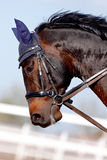 Muzzle of a brown sports horse. In a bridle in a sunny day Royalty Free Stock Photo