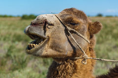 Muzzle of camel Royalty Free Stock Images