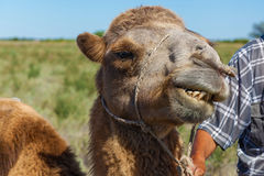 Muzzle of camel Royalty Free Stock Photos
