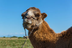 Muzzle of camel Royalty Free Stock Image