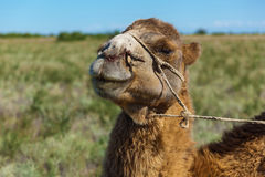Muzzle of camel. A camel chews a grass.Sharp stick with a rope in the nose of camel, a camel farm is in Kazakhstan Royalty Free Stock Photo