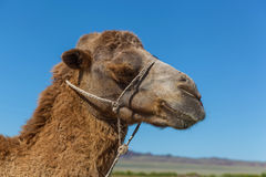 Muzzle of camel. A camel chews a grass.Sharp stick with a rope in the nose of camel, a camel farm is in Kazakhstan Royalty Free Stock Image