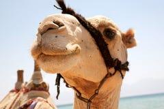 Muzzle camel close-up. Animal smiling Stock Photo