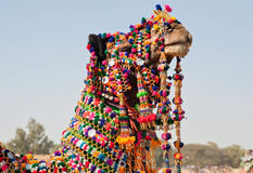 Muzzle of camel, dressed in brightly colored decorations Stock Photos
