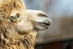 Muzzle of camel in zoo. Royalty Free Stock Photos
