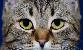 Muzzle of a cat Stock Image