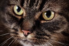 Muzzle of a cat Royalty Free Stock Image