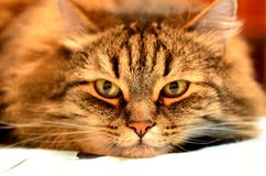 The muzzle of the cat Stock Photo