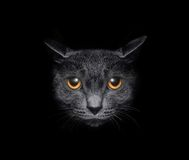 Muzzle a cat on a black background. View from the darkness. Muzzle a cat on a black background Royalty Free Stock Images