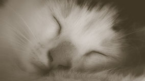 Muzzle cat close up sleeping white cat. cat nose macro Stock Image
