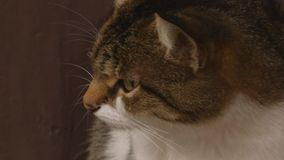 Muzzle of a cat stock video