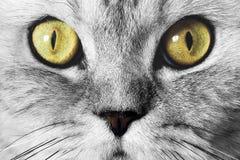 Muzzle cat closeup Royalty Free Stock Image
