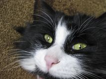 The muzzle of the cat is near. Black and white cat with green eyes. Royalty Free Stock Photography