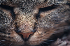 Muzzle cat photographed close. Royalty Free Stock Images