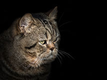 Muzzle cat of the Scottish breed close-up on black Royalty Free Stock Photo