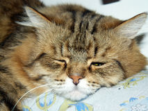 Muzzle cat sleeping on a pillow Royalty Free Stock Photos