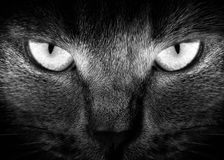Muzzle a cat. View from the darkness. Muzzle a cat on a black background Stock Photography