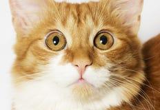 Muzzle cat Stock Image