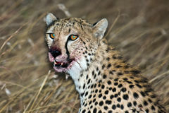 Muzzle cheetah smeared in the victim's blood. Masai Mara Game Reserve, Kenya Stock Image