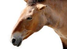 Muzzle of bay (chestnut) wild horse, named Equus przewalskii (Przevalskys horse). Muzzle of bay (chestnut) wild Stock Image