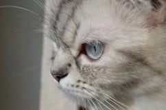 Muzzle closeup Balinese cat. Very beautiful balinese cat closeup as background Stock Image